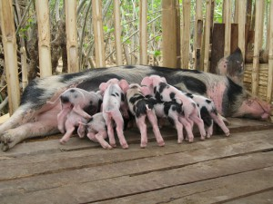 A healthy litter of newborn piglets. The growth continues!